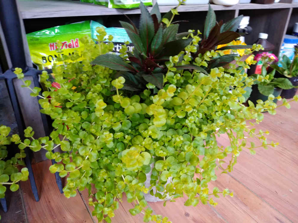 Creeping Jenny! Great accent in container gardens!