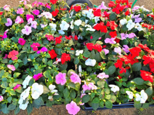 Impatiens flowers with other flowers, herbs and succulents!
