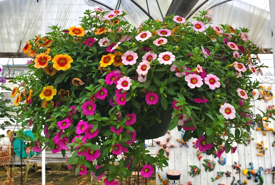 Million Bells Hanging Basket!