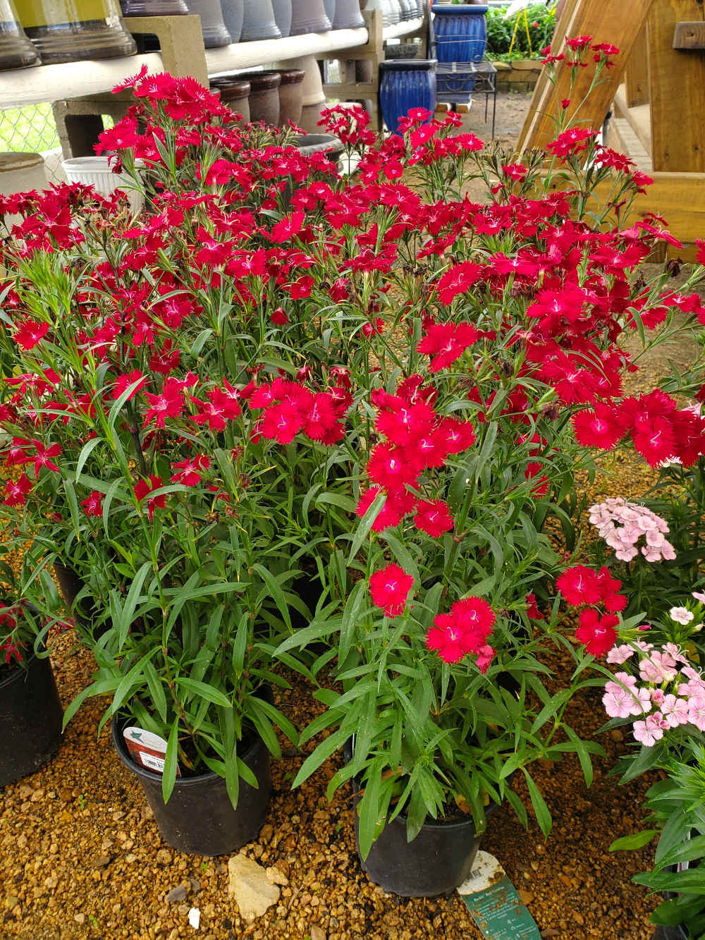Beautiful red dianthus!