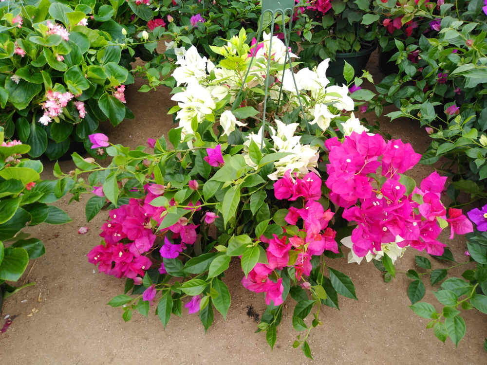 Multi-color bougainvillea basket!