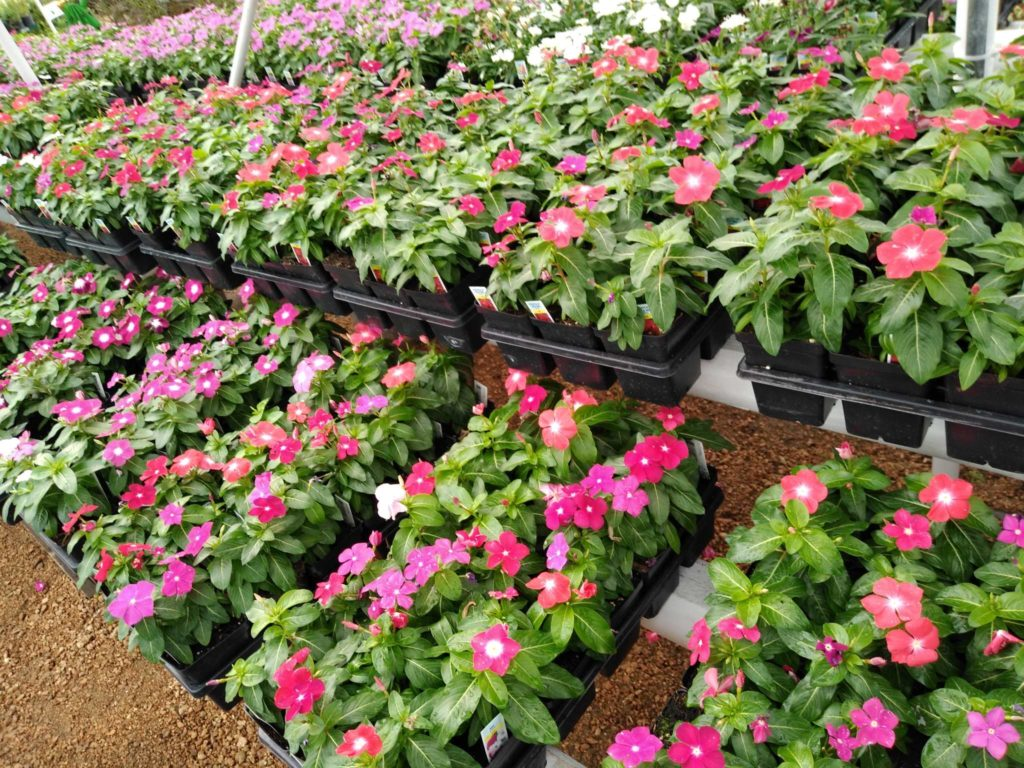 Colorful vinca flowers! They're perfect for flowerbeds!