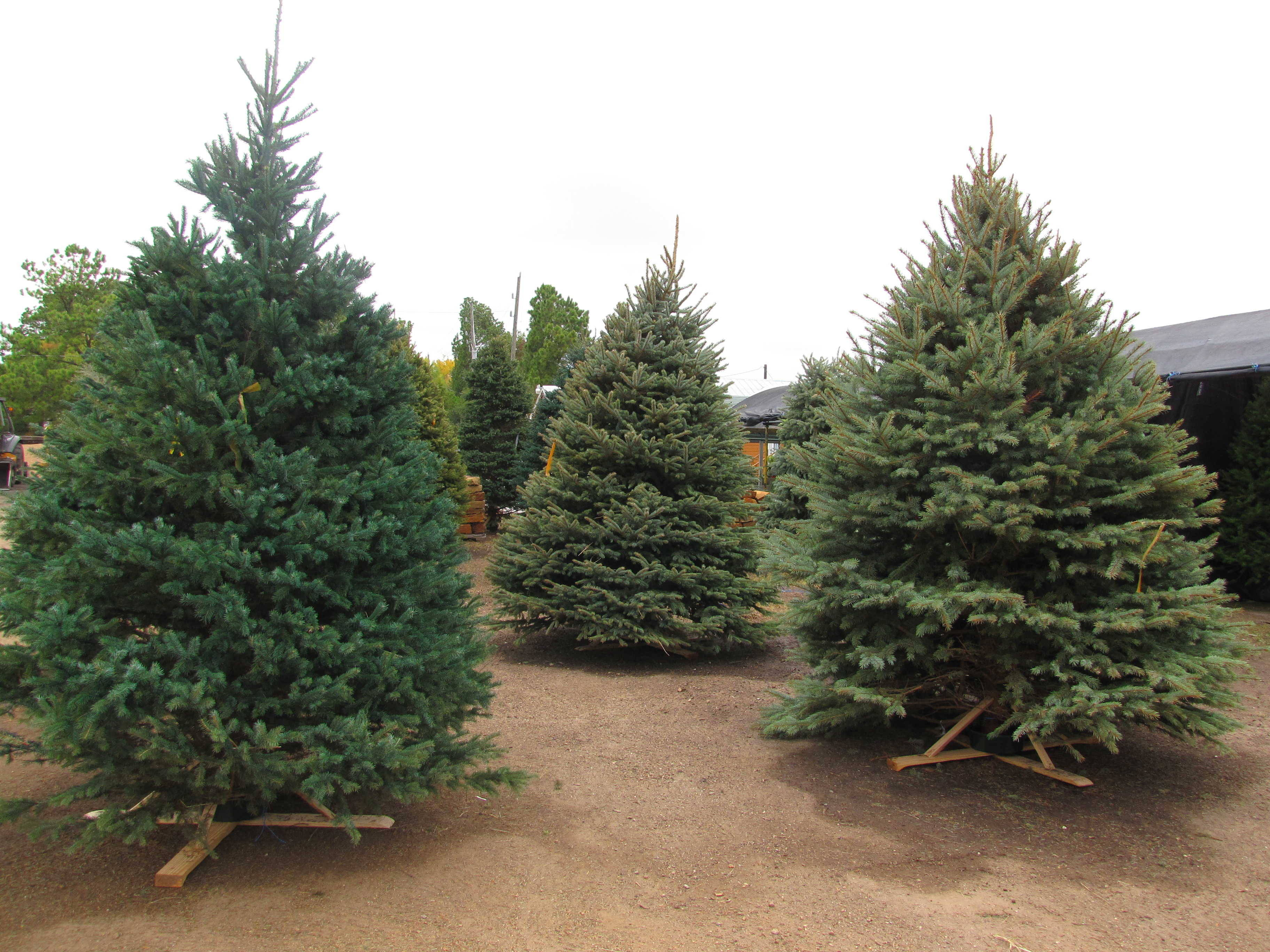 Seasonal Products including Christmas Trees and Fireworks at J&J Nursery, Spring, TX.