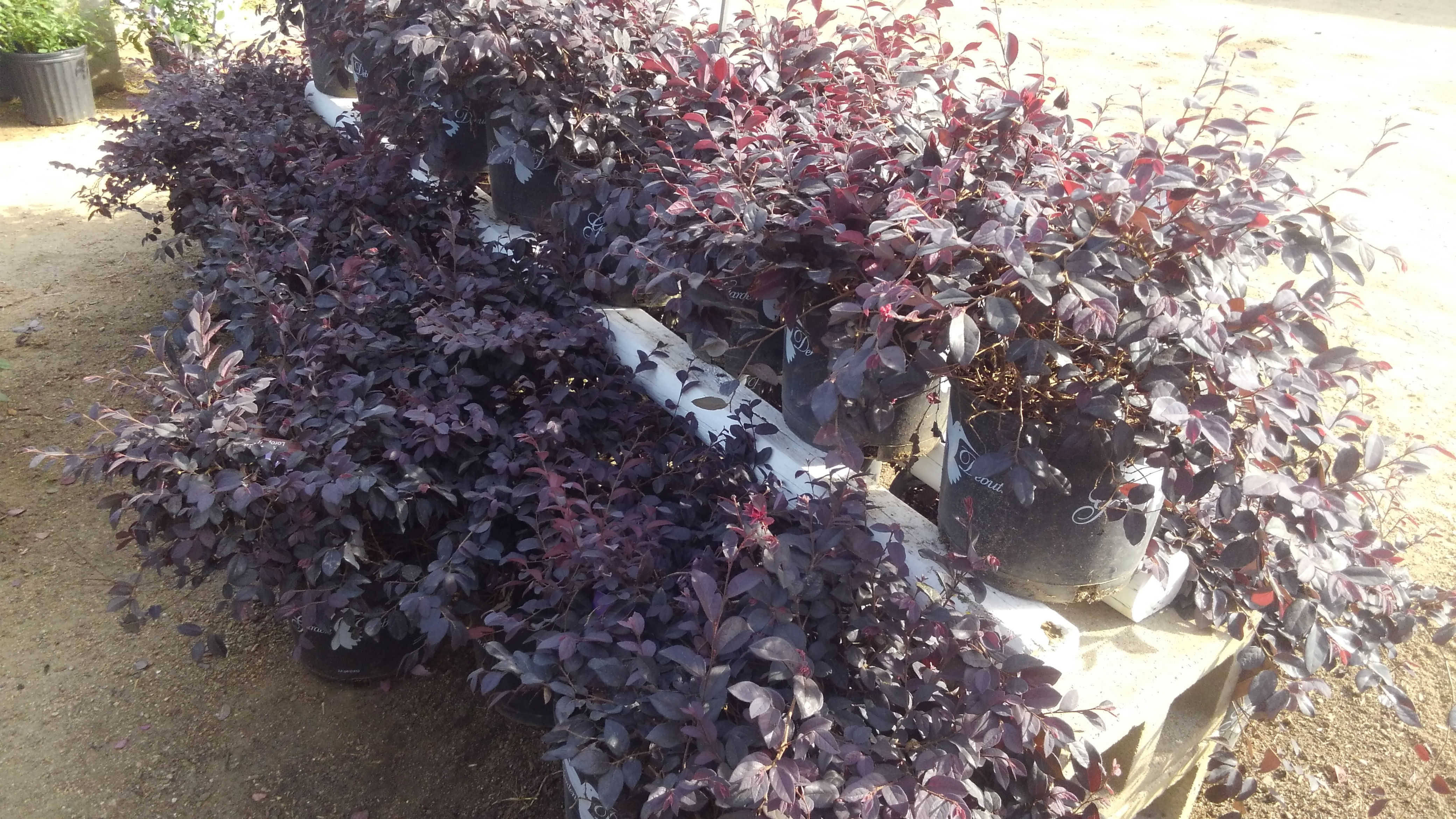 Plum Delight shrubs!