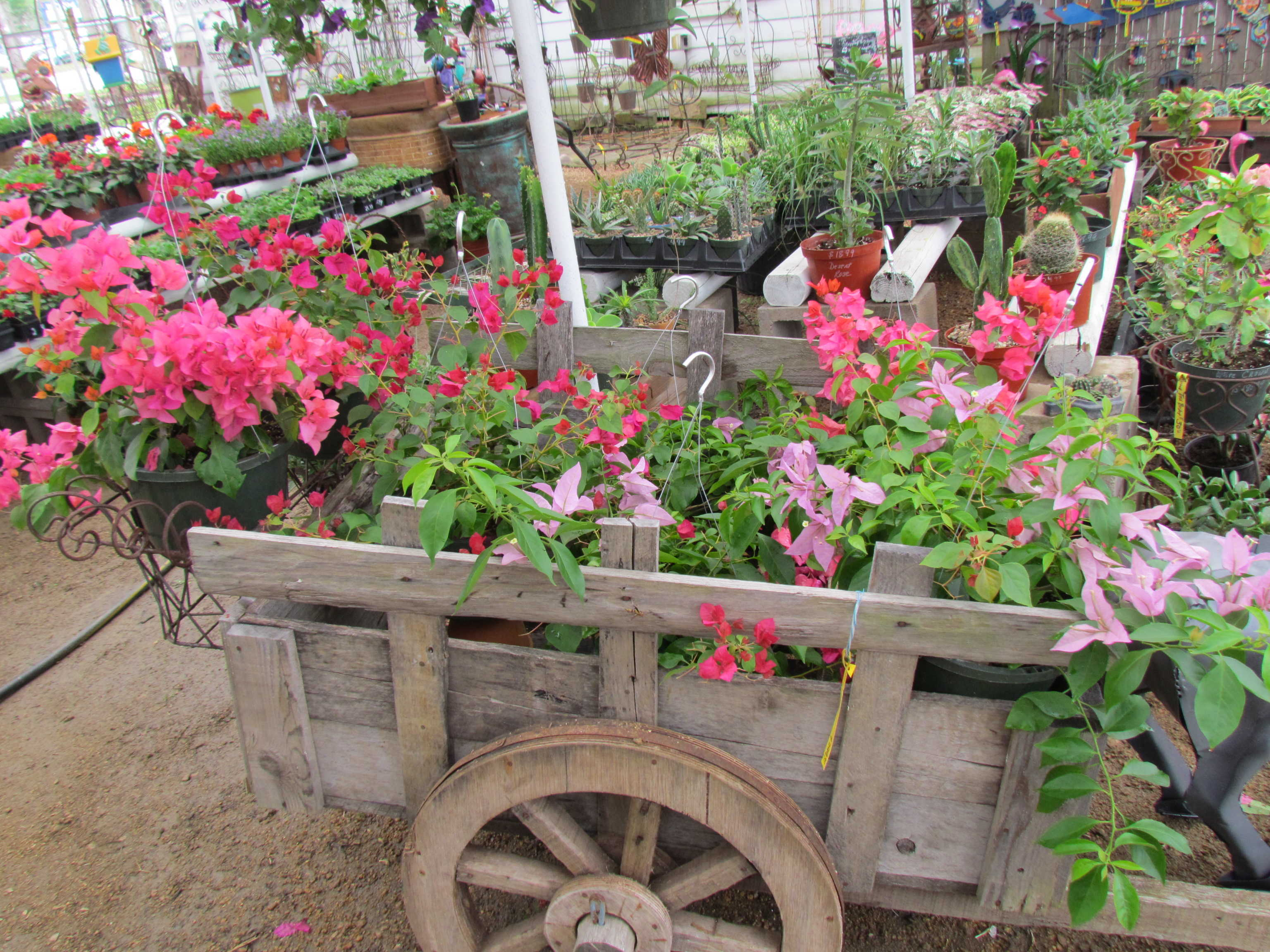 Bougainvillea hanging baskets at J&J Nursery, Spring, TX