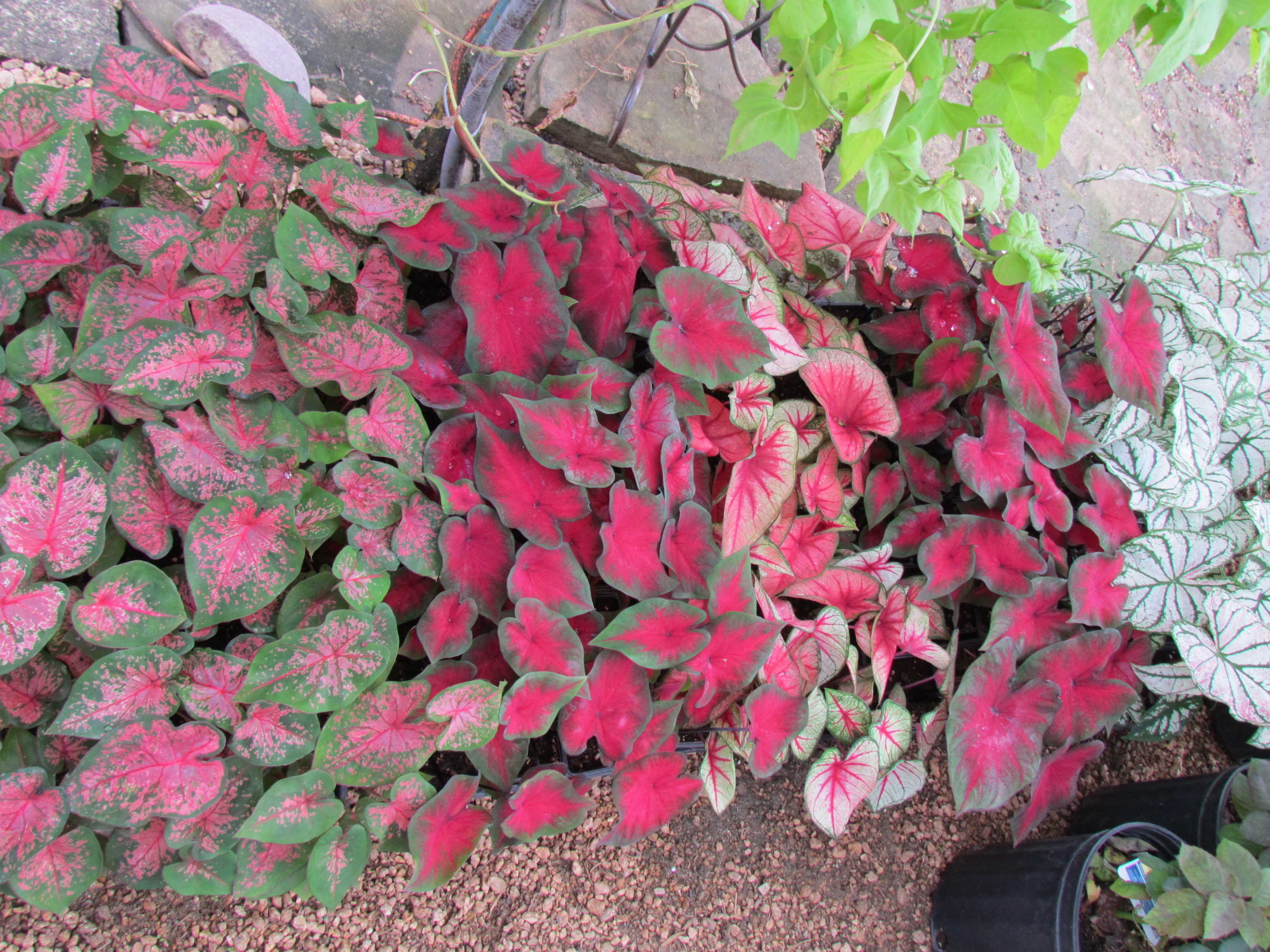 Groundcover like Caladiums and more available J&J Nursery, Spring, TX