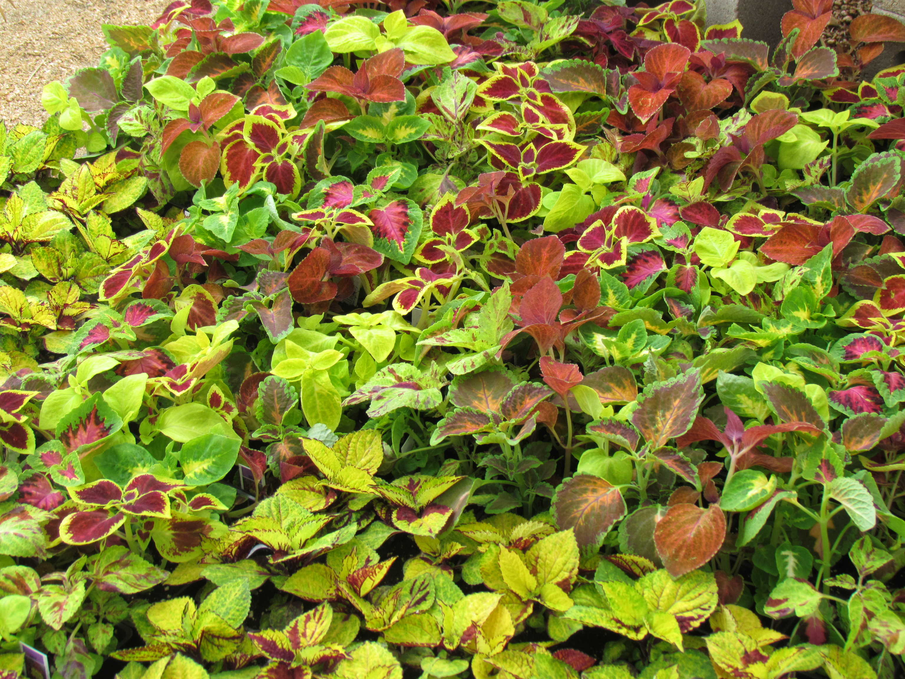 Large variety of ground cover such as this Coleus and more at J&J Nursery, Spring, TX