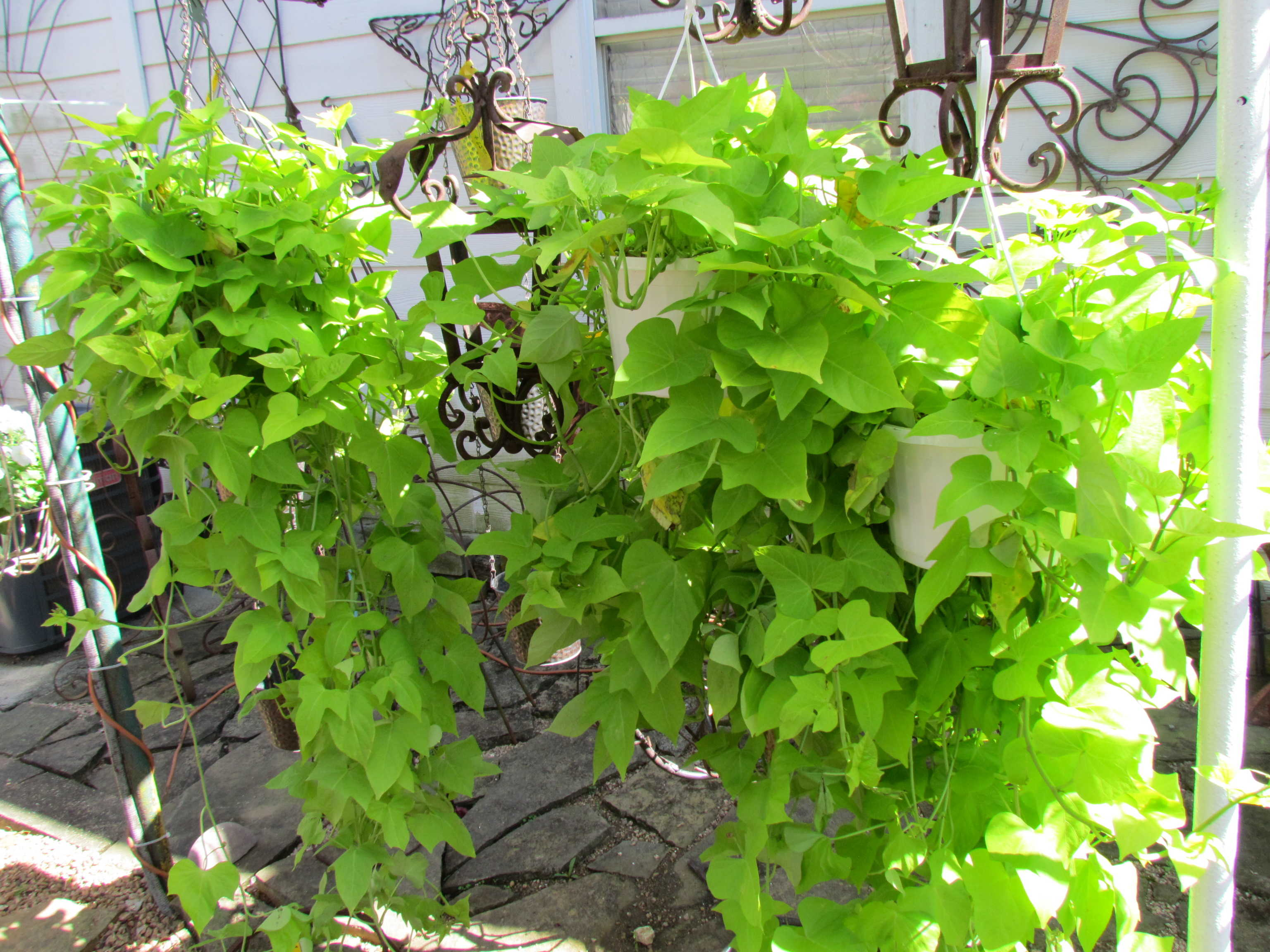 Large selection of vining plants at J&J Nursery, Spring, TX