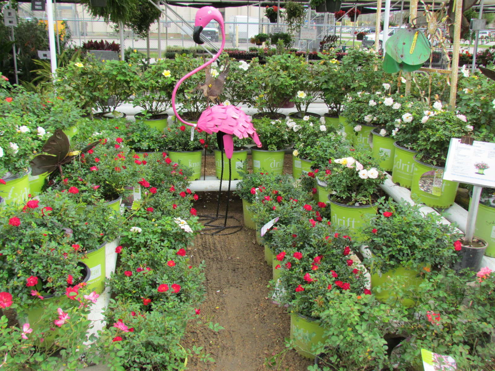 Large variety of shrubs including Encore Azaleas, Boxwoods, Yaupons, Crotons, Drift Roses and more at J&J Nursery, Spring, TX